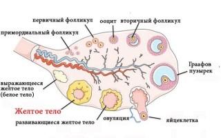 Функциональное назначение желтого тела в яичнике женщины
