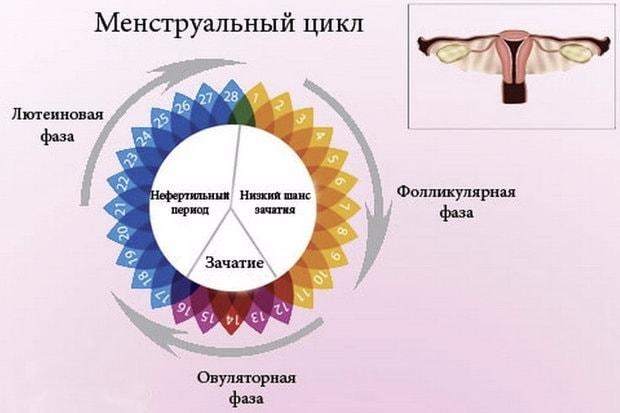 Схематичное изображение фаз менструального цикла