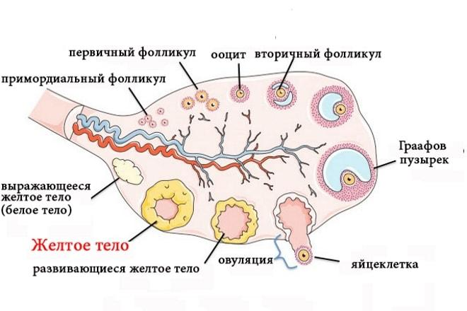 Образование жёлтого тела в яичнике у женщины