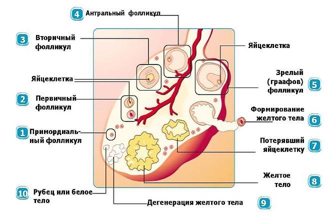 Что такое желтое тело в левом яичнике
