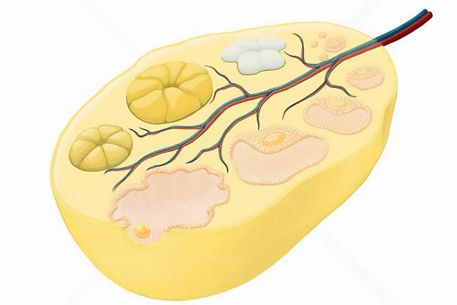 Жёлтое тело левого яичника