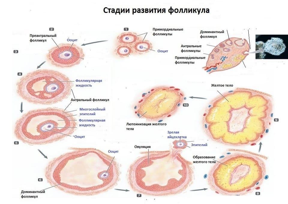Функциональное назначение фолликула яичника