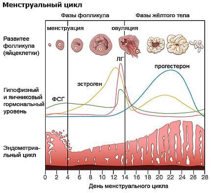 Прогестерон в период меструации
