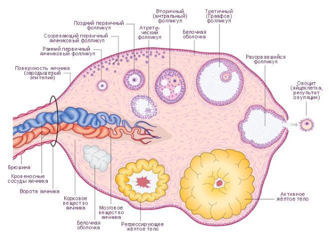 Лечение при обеднении фолликулярного аппарата яичников