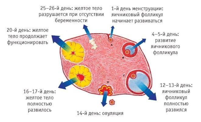 Последовательность формирования желтого тела